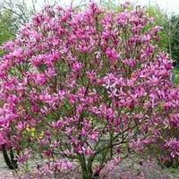 Magnolia liliiflora susan