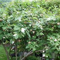 magnolia sieboldii sommer magnolie gartencenter. Black Bedroom Furniture Sets. Home Design Ideas