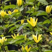 magnolia 39 daphne 39 magnolie 39 daphne 39 gartencenter. Black Bedroom Furniture Sets. Home Design Ideas