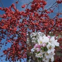 Malus Red Sentinel Zierapfel Red Sentinel Gartencenter