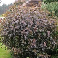 Physocarpus opulifolius atropurpurea