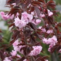 Prunus Serrulata Royal Burgundy Japanische Nelkenkirsche Royal